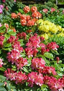 Rhododendron Eingerollte Blätter : rhododendron hat gelbe bl tter was k nnen sie dagegen tun ~ Markanthonyermac.com Haus und Dekorationen