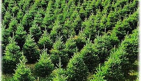 yule tree farm green pine needles for next christmas
