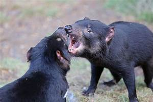 Tasmanian Devils Are Rapidly Evolving Resistance to a ...