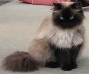 himalayan cats for seal point himalayan cats