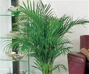 Plante Tropicale D Intérieur : palmier d 39 arec bloom iq ~ Melissatoandfro.com Idées de Décoration