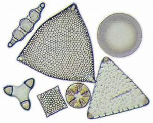 Marine diatoms – Plankton – Te Ara Encyclopedia of New Zealand