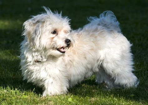 Do Bichon Havanese Shed by I Some Questions Havanese Forum Havanese Forums