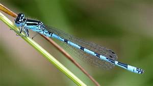 Southern Damselfly | british-dragonflies.org.uk