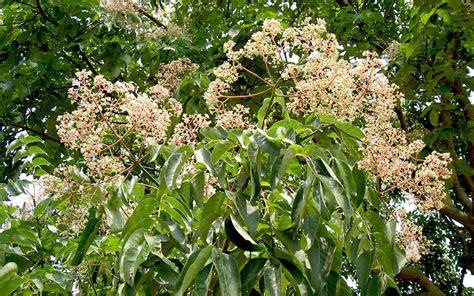 bienenbaum pflanze euodia hupehensis bienen und