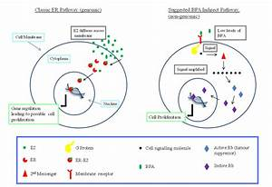 Even Though Bpa Is A Weak Oestrogen  There Is A Mechanism