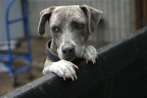 Fileblue Brindle Dog Lo Ng On A Fence Jpg Wikimedia