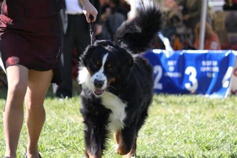 bernese mountain dog breed information bernese mountain
