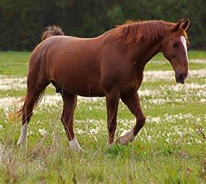 Chestnut Horse Standing