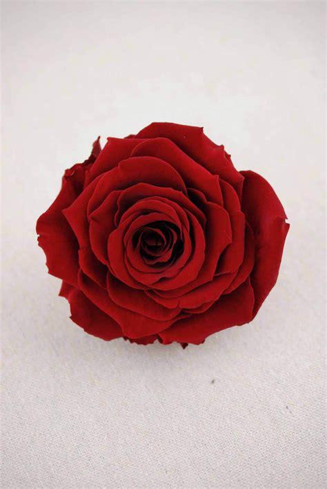 preserved roses  burgundy red