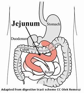 17 Best images about jejunum on Pinterest   The smalls ...