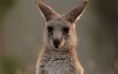 Kangaroo Animals Gifs Animal Wildlife Contexte Queue