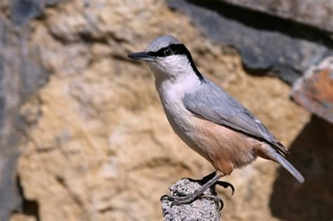 related keywords suggestions for eastern nuthatch