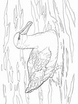 Albatross Coloring Pages Birds Printable sketch template