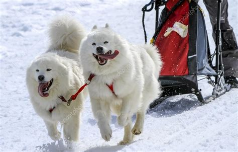 Sled Samoyed Dogs In Speed Racing Moss Switzerland
