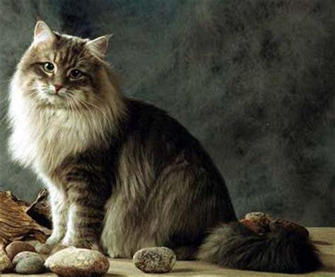 Siberian Cat Breed Photos  Beautiful Cat Pictures