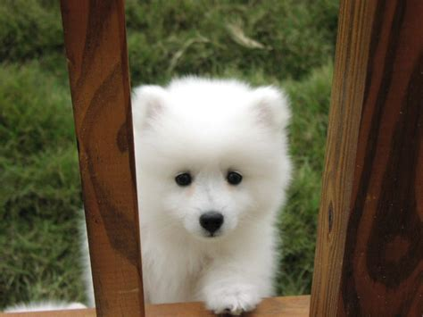 American Eskimo Dog Hd Wallpapers High Definition