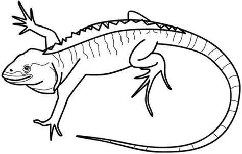 Coloring Iguana by Galapagos Land Iguana Coloring Page Galapagos Land Iguana