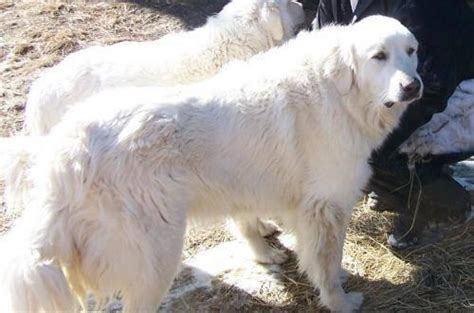 great pyrenees thor extra large adult male dog