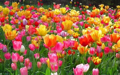 garden tulips flower jpg hi tulip flowers garden hd wallpapers 2560x1600 wallpapers13 com