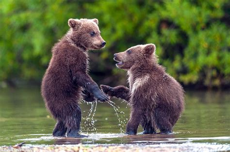 Bear Cubs Look Like They're Shaking On A Deal As They Play