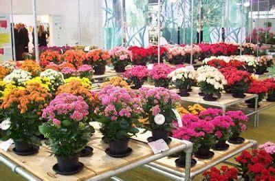 contoh jenis tanaman hias bunga mawar jenis tanaman hias