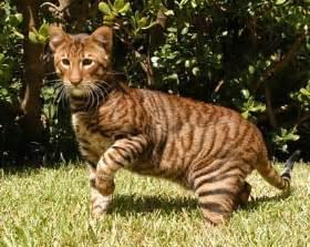 tiger cat breed moggyblog toyger the tiger