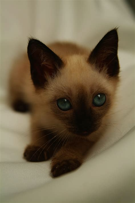 How To Stop Siamese Cats From Biting Tripsandthecity