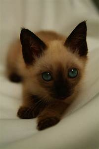 Siamese Cats Images - Reverse Search