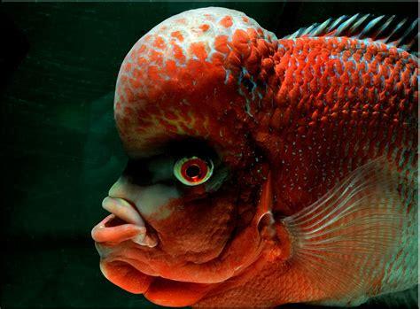 9 jenis ikan louhan untuk penghias aquarium satwapedia