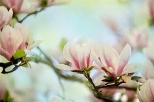 Magnolie Blüht Nicht : magnolie schneiden wann und wie macht man das ~ Buech-reservation.com Haus und Dekorationen