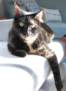 tortoiseshell cat personality don t judge a tortoiseshell cat by color