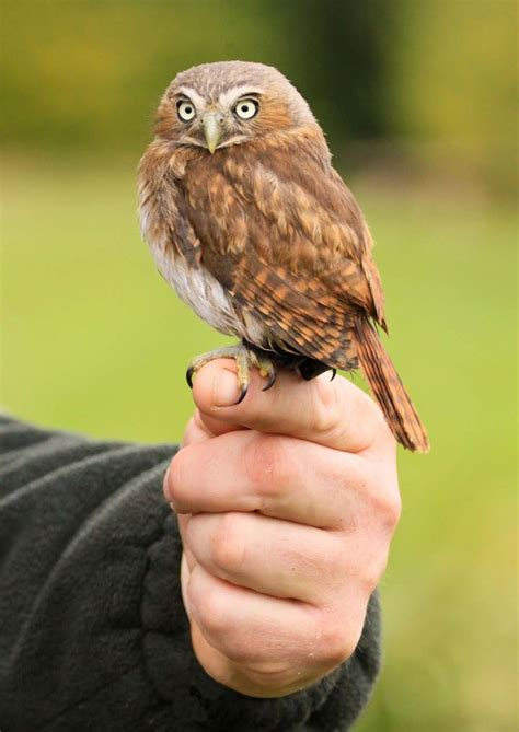 are owls pets pygmy owl pets i want pinterest