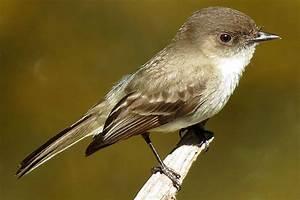 Eastern Phoebe - Sayornis phoebe - Flycatchers