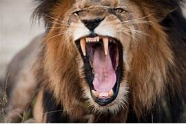 Angry Roaring Lion HD ...