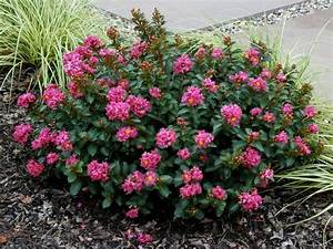 Plant A Smaller Crepe Myrtle This Year - Southern Living