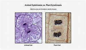 Animal  Animal Cell Vs Plant Cell Microscope