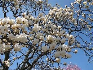 White Magnolia Tree, Brooklyn Botanic Garden | Emily ...