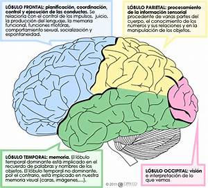 Lobulos Cerebrales Pdf