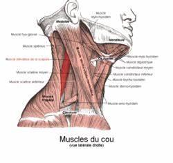 Levator scapulae muscle - Wikipedia