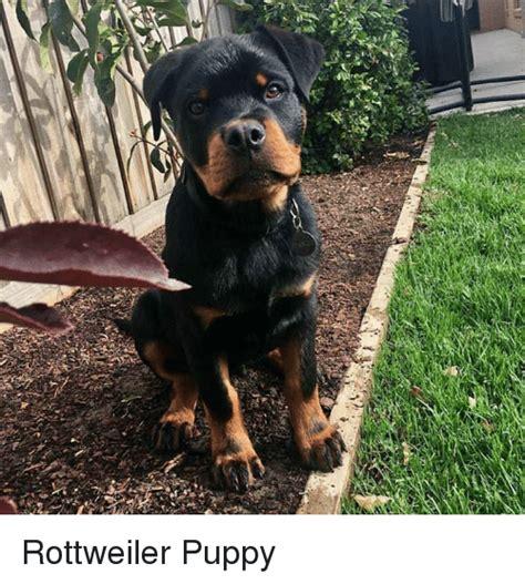Rottweiler Memes - 25 best memes about rottweiler puppy rottweiler puppy memes