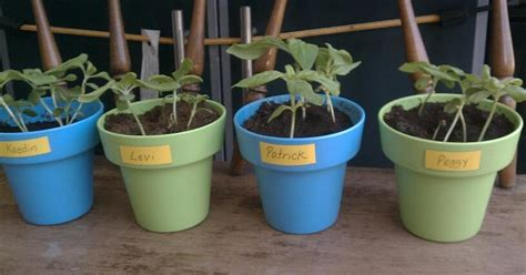 the cookie growing sunflowers in recycled pots