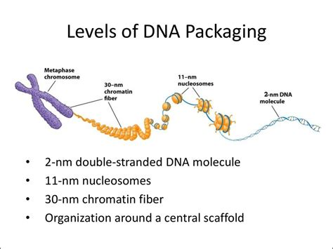 Diagram Of Chromatin what are chromatin and chromosomes made from socratic