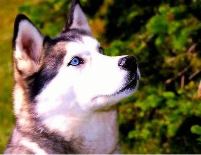 Husky Siberian Dog Puppy Haski Puppies Alaskan