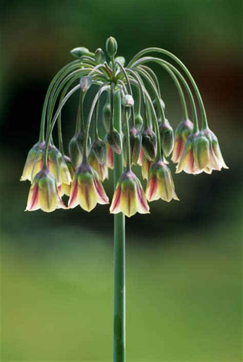 Buy Sicilian honey garlic bulbs Nectaroscordum siculum