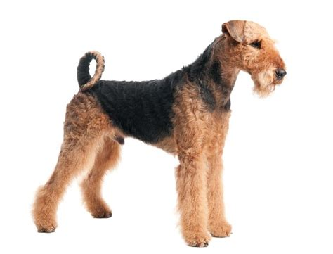 non shedding large family dogs the 25 best non shedding dogs medium ideas on