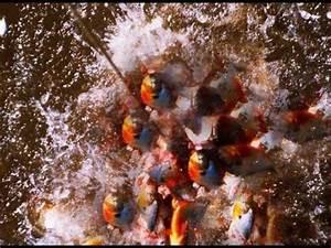 piranhas attacking piraña atacando caribes cannibal ...