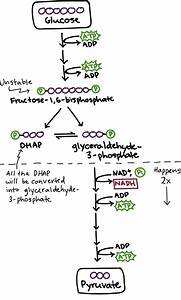Glycolysis Diagram For Kids