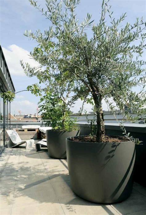 olivier en pot pour la terrasse ou le balcon conseils et photos terrasses sur le toit
