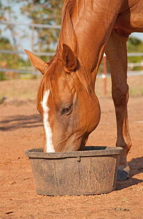horse horses feed diet herbs equine chinese feeds nutrition eating feeding hay health chestnut chewing exercise does nerd plants supplements